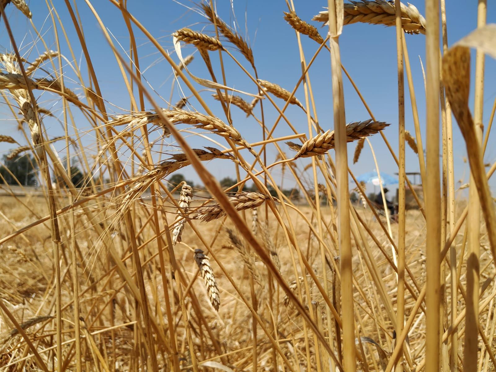 os italianos y turcos comen pasta elaborada con trigo cristalino de Sonora