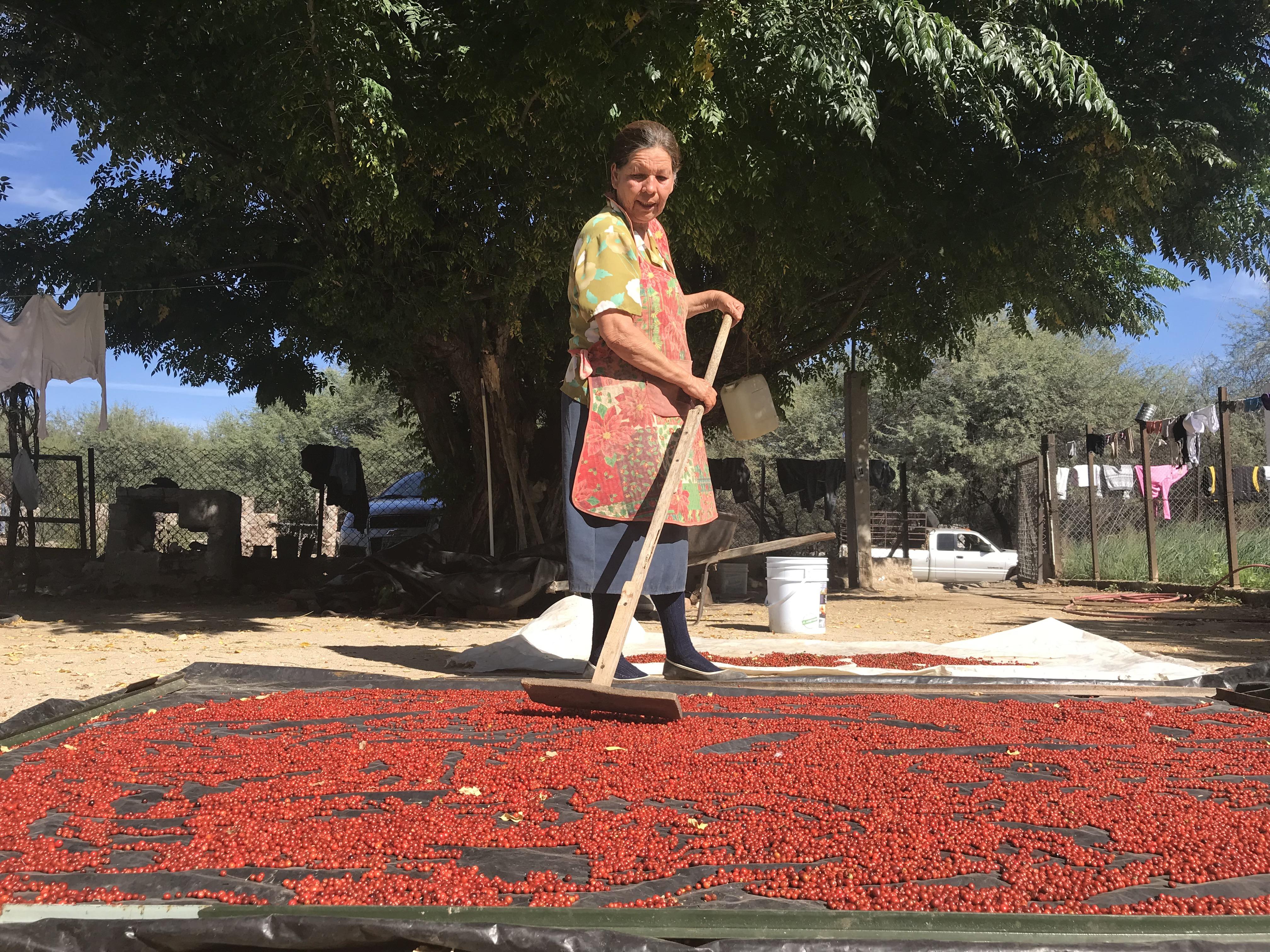 La pizca del chiltepín se convierte en el sustento de vida de la sierra de Sonora