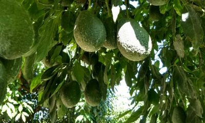 Aguacate Jalisco