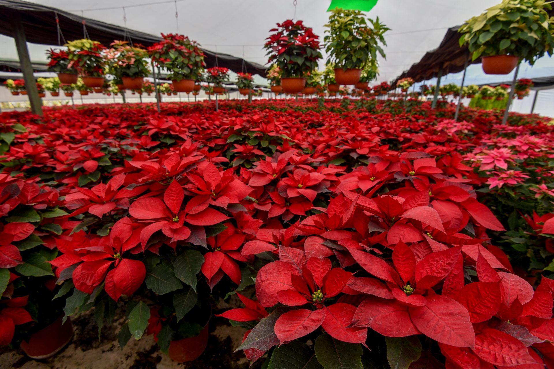 Contiene imagen exterior, campo, flores rojas, Nochebuena