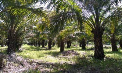 Palma de aceite Chiapas