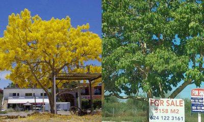 árbol tradicional Cabo San Lucas