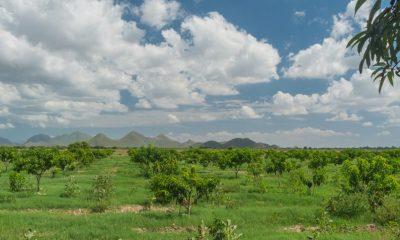 mango de Escuinapa
